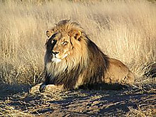 Lion_waiting_in_namibia1_2